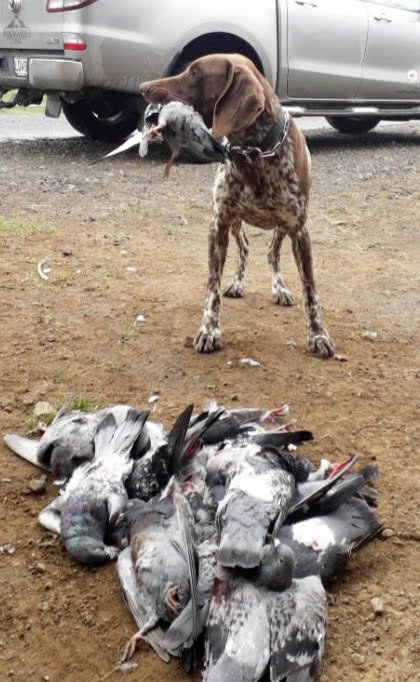 Pigeons are wonderful for training young dogs to retrieve