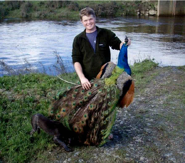 Peacock hunting is becoming popular