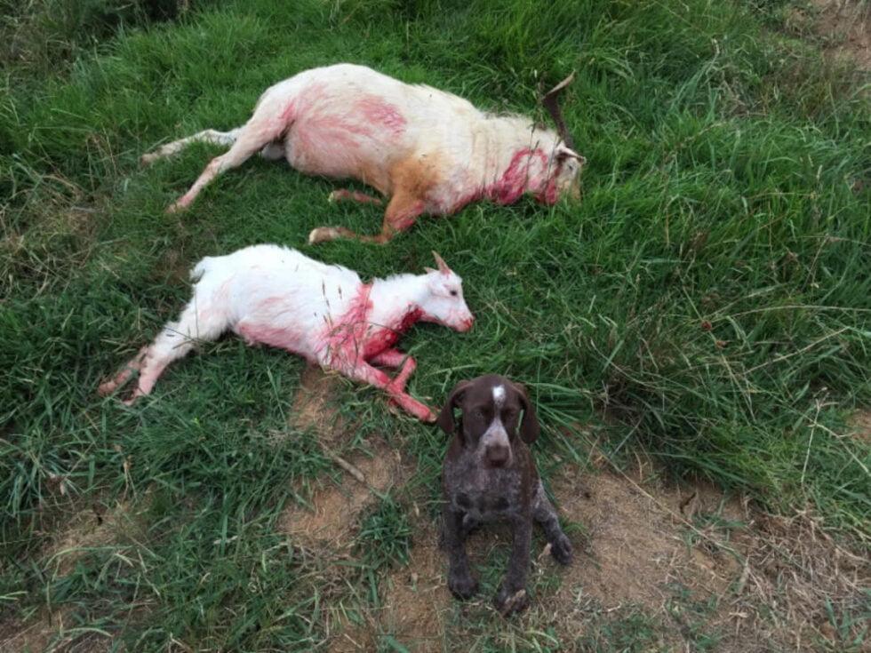 Goat hunting NZ