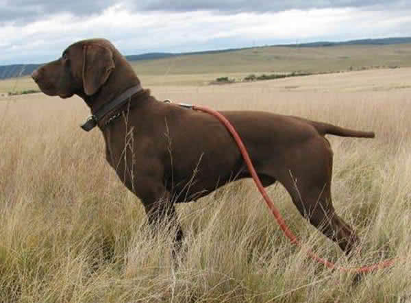 Imported sire Max - top hunting genes. Amber and Pippi's sire. Over the rainbow.