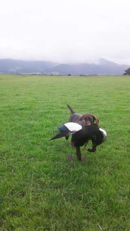 Paradise ducks - wonderful for training young dogs