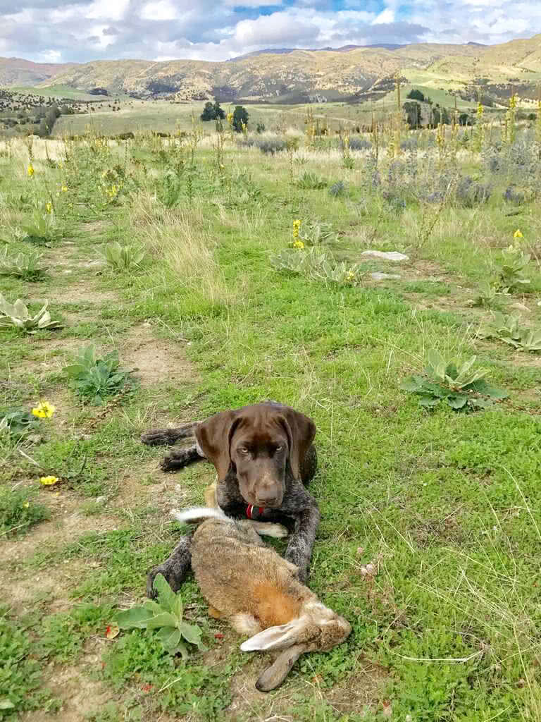 Very proud GSP - the rabbit is nearly as big as the dog - love the feedback.