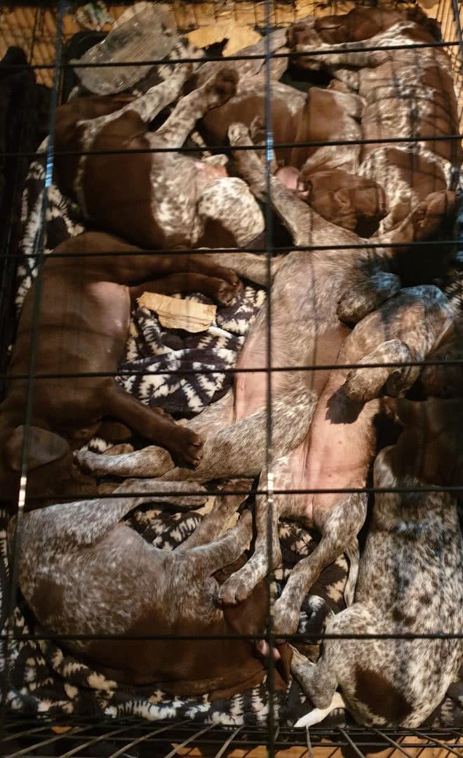 A pile of Rambo pups