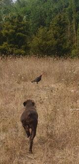 Amber hunting turkey